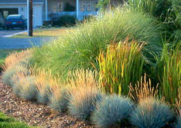 Gardening resource site for Blue fountain grass