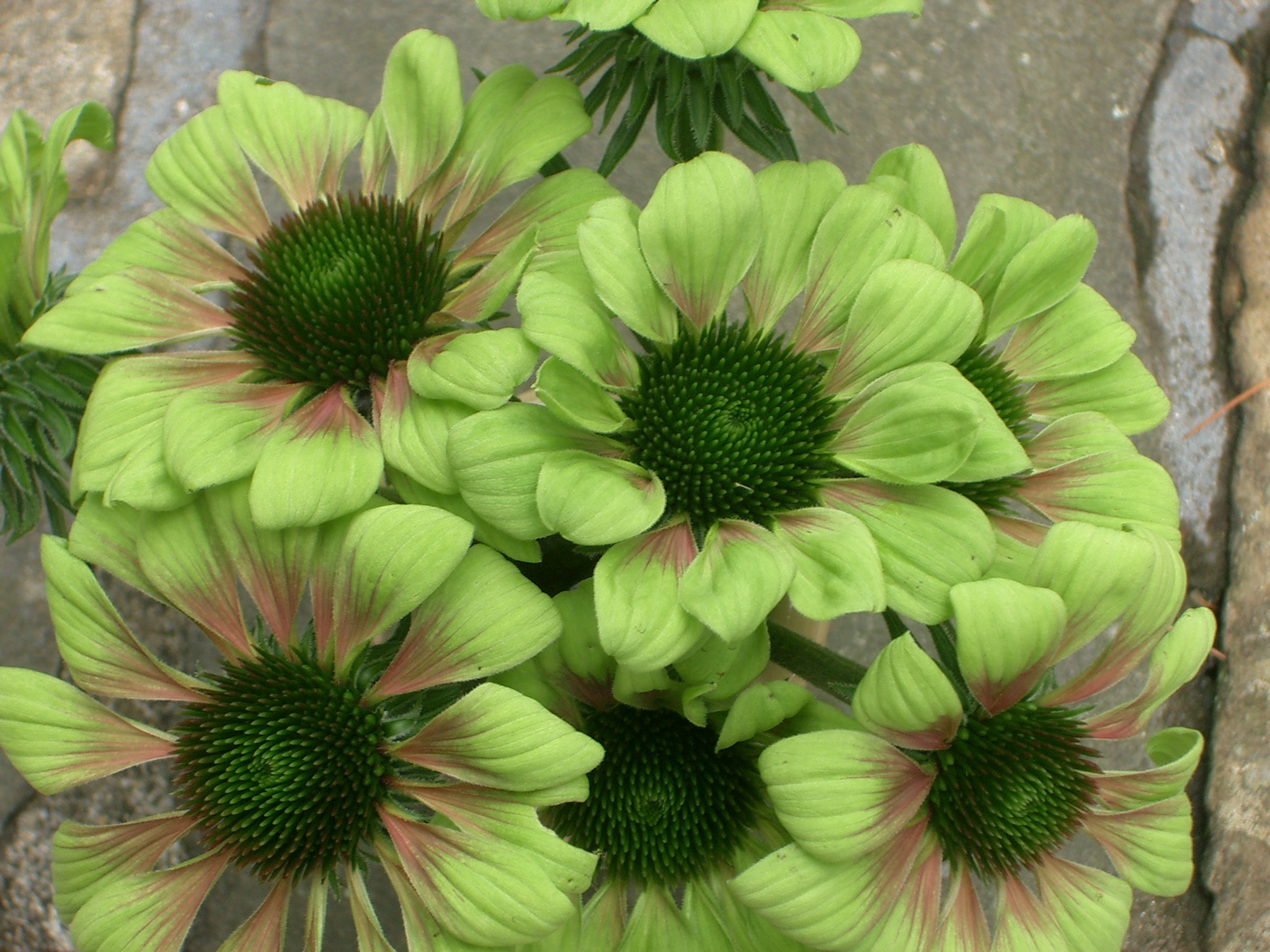 new eden pride of place plants echinacea green envy. Black Bedroom Furniture Sets. Home Design Ideas